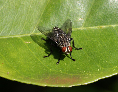 This fly is in the family Tachinidae.Photo by Carla H Kishinami (2009).  Copyright-free.  (ID from this photo by Frank Howarth [http://www.flickr.com/photos/kishlc/3478882556/#comment72157618864309137].)