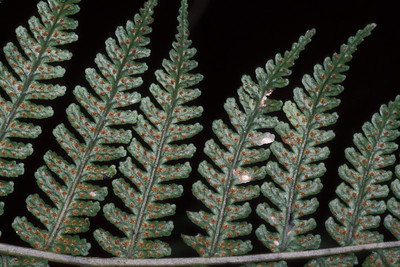 """Dryopteris sandwicensis This image is licensed under the Creative Commons Attribution-NonCommercial 3.0 Unported license.  You may share and adapt this work, but only with attribution (""""by Hank L. Oppenheimer"""") and only for non-commercial purposes unless permission is obtained from the copyright-holder (contact webmaster@hear.org)."""