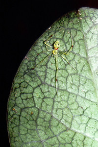 Theridion grallator, Big Island