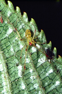 Theridion grallator, West Maui