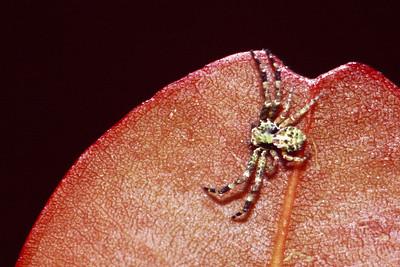 Thomisidae, West Maui