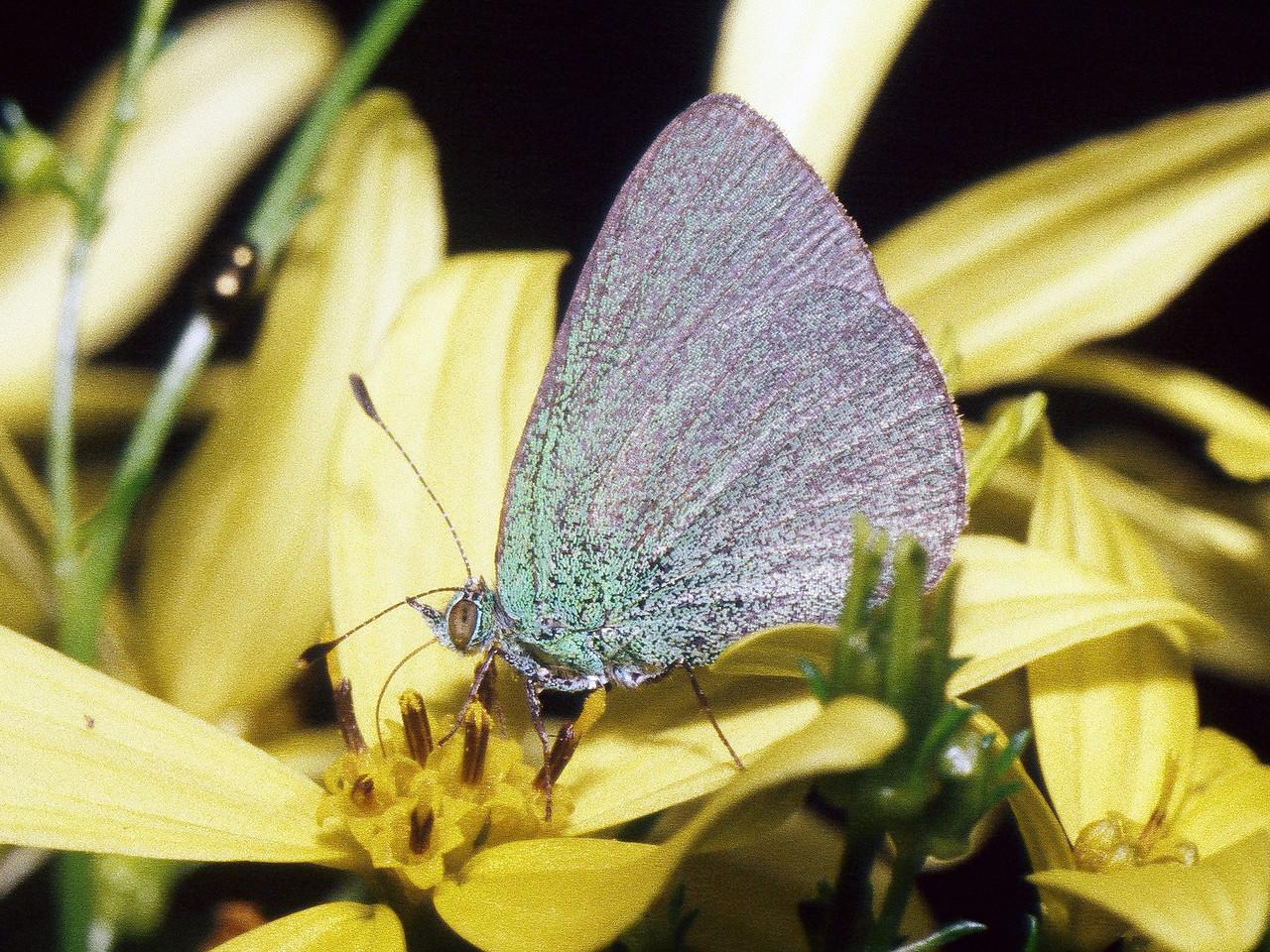 Udara blackburnii (Heteroptera: Lycaenidae) on Bidens menziesii West Maui