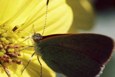 Udara blackburnii (Heteroptera: Lycaenidae) on Lipochaeta lobata, West Maui