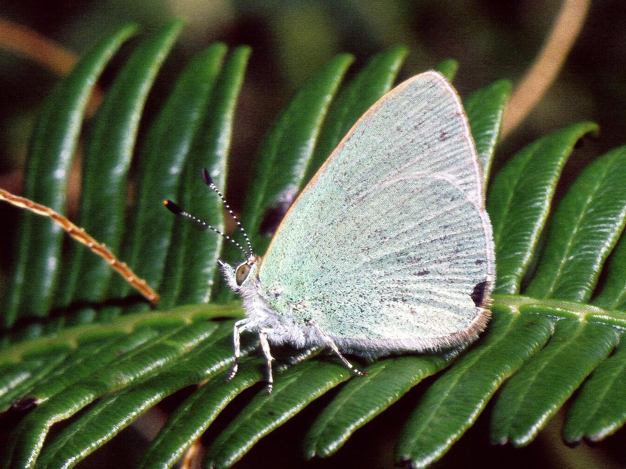Udara blackburnii (Lepidoptera: Lycaenidae), West Maui
