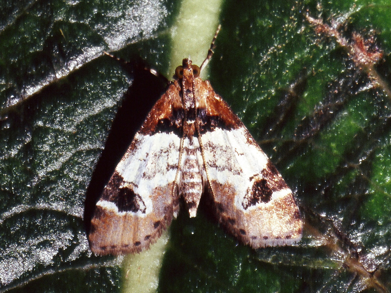 Udea sp. (Crambidae) on Stenogyne kameamehae, West Maui