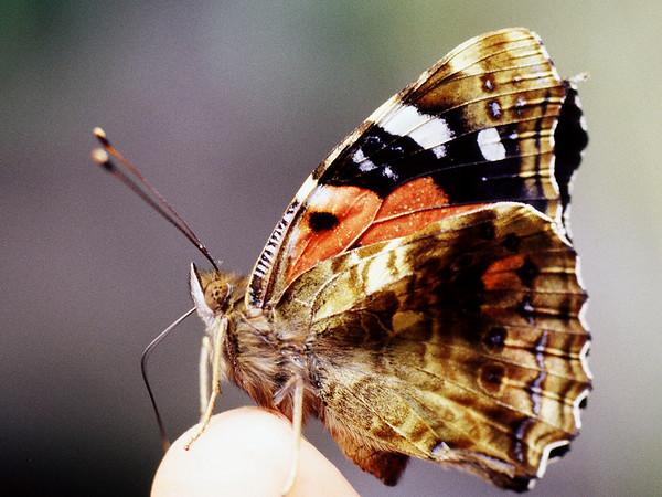 Bộ sưu tập cánh vẩy 6 - Page 12 Lepidoptera%20Nymphalidae%20Vanessa%20tameamea%20West%20Maui%20%232-M