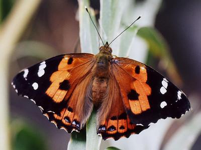 Vanessa tameamea (Lepidoptera: Nymphalidae), West Maui