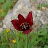 Tulipa cypria, Cyprus 2010
