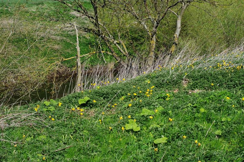 Wild Tulip, Tulipa sylvestris subsp sylvestris, North Yorkshire UK, 29th April 2015