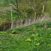Wild Tulip, Tulipa sylvestris subsp sylvestris, North Yorkshire UK, 29th April 2015