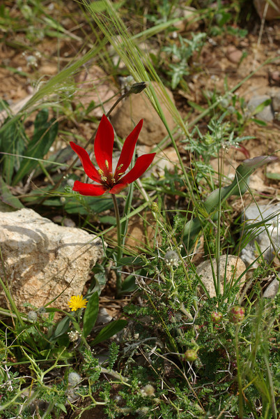 Tulipa goulimyi. Crete 2012.