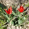 Tulipa aegenensis, Cyprus 2010.