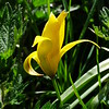 Wild Tulip Tulipa sylvestris subsp sylvestris, North Yorkshire UK, 29th April 2015