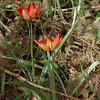 Tulipa doerfleri. Crete 2012.