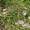 Tulipa saxatilis. Crete 2012.