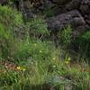 Tulipa sylvestris subsp australis, Pico Alto, Algarve, Portugal 2010.