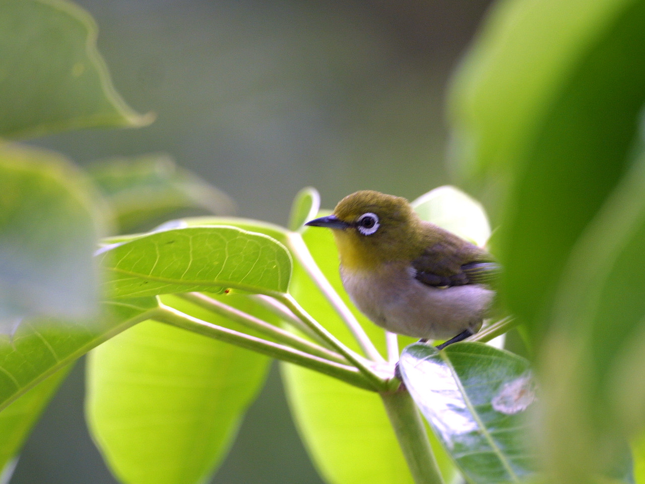 """Japanese white-eye (Zosterops japonicus) This photo is by Dr. K.W. Bridges (University of Hawaii) (kim@hawaii.edu).  The photograph was copied from the website """"Common Campus Birds"""" (of the University of Hawaii at Manoa) (http://www.botany.hawaii.edu/biology101/birds/campus_birds.htm).  (Dr. Bridges has kindly placed these photographs in the public domain: """"These photographs are not copyrighted and may be used without further permission."""")"""