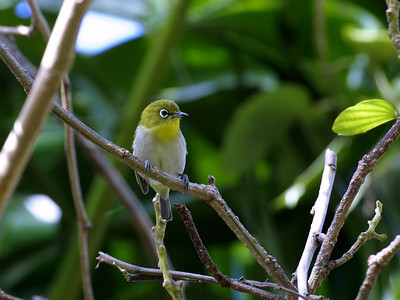 "Japanese white-eye (Zosterops japonicus) This photo is by Dr. K.W. Bridges (University of Hawaii) (kim@hawaii.edu).  The photograph was copied from the website ""Common Campus Birds"" (of the University of Hawaii at Manoa) (http://www.botany.hawaii.edu/biology101/birds/campus_birds.htm).  (Dr. Bridges has kindly placed these photographs in the public domain: ""These photographs are not copyrighted and may be used without further permission."")"
