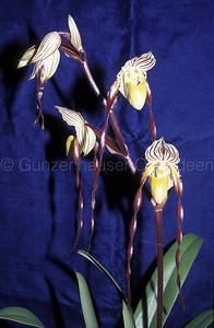 Paphiopedilum philippinense var. roebelenii