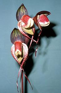Paphiopedilum adductum v. anitum