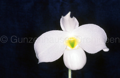 Paphiopedilum vietnamense f. alba