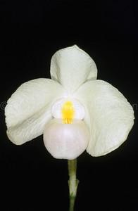 Paphiopedilum delenatii f. lutescens