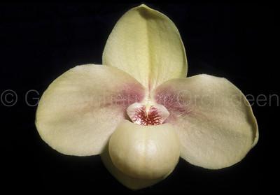 Paphiopedilum hangianum 'Marianne'