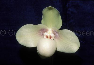 Paphiopedilum hangianum 'Sweet'