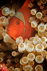 Spinecheek Clownfish female