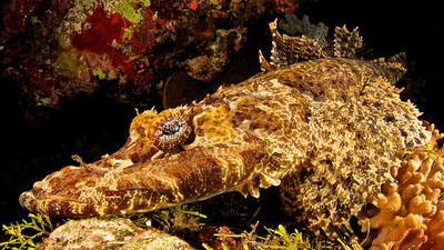 Flathead Crocodilefish