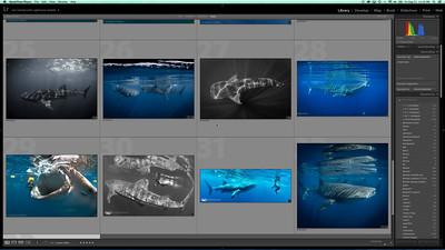 Simple LR Edit- Whaleshark natural light image
