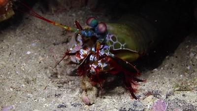 SL-2 Macro with Canon 35mm macro lens Wakatobi Mantis shrimp. 60 seconds