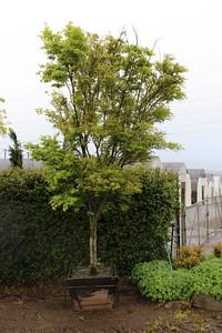 Acer palmatum 'Ao kanzashi' Specimen, 3 5 in, #30 box