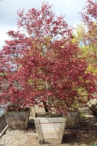 Acer palmatum 'Bloodgood' Specimen 2 5 in #30 box (3)
