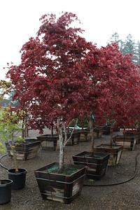 Acer palmatum 'Bloodgood' Specimen, 2 5 in, #30 box (2)