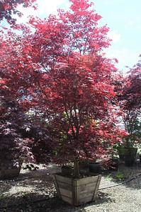 Acer palmatum 'Bloodgood' 3 5 in #30 Box