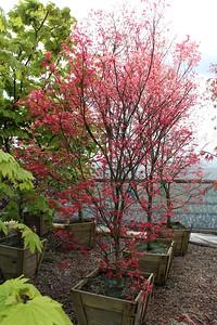 Acer palmatum 'Beni maiko' Specimen, 2 in, #24 box