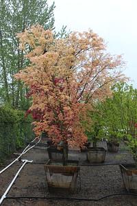 Acer palmatum 'Beni tsukasa' Specimen, 3 in, #30 box