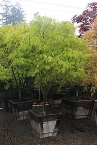 Acer palmatum 'Ao shime' Specimen, 2 in, #24 box