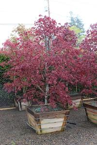 Acer palmatum 'Bloodgood' Specimen, 3 in, #36 box (2)