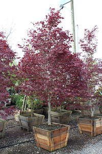 Acer palmatum 'Bloodgood' Specimen 2 5 in #30 box (2)
