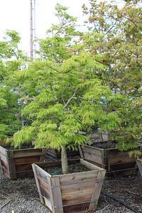 Acer jap  'Green Cascade' 2X Specimen 6 ft #30 box
