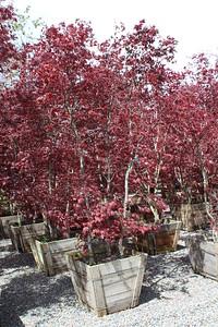 Acer palmatum 'Bloodgood' Clump, Specimen, #30 box