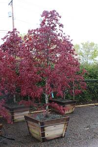 Acer palmatum 'Bloodgood' Specimen, 3 in, #36 box (3)