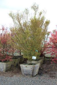 Acer palmatum 'Ao kanzashi' Specimen 3 in #30 box