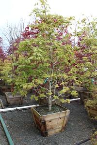 Acer jap  'Aconitifolium' Specimen, 2 5 in #30 box