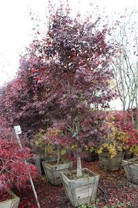 Acer palmatum 'Bloodgood' Specimen 2 5 in #24 box