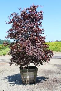 Acer palmatum 'Bloodgood' Specimen, 2 5 in, #30 box