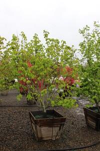Acer circinatum (nursery grown) Specimen, 8 ft, #30 box