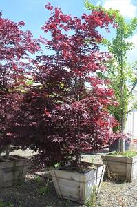 Acer palmatum 'Bloodgood' 2 5 in #30 Box